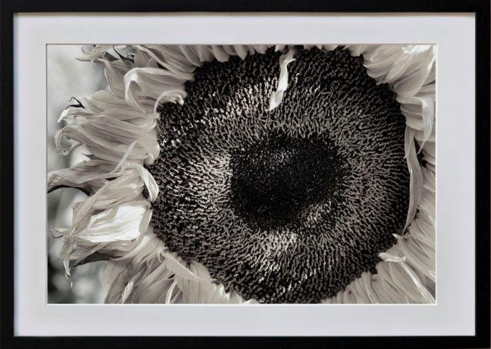 Solros av Henry Bronett